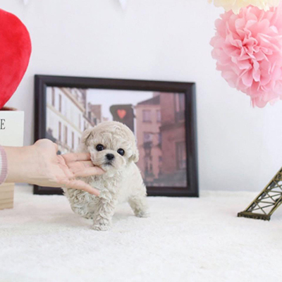 Buy toy poodle