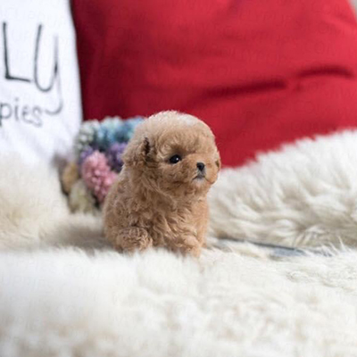 Tiny Poodle puppies for sale